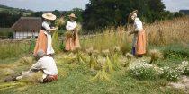 Flax-pulling-31-July-14-015-harvest-210x105